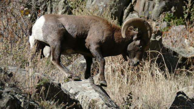 4k video bighorn sheep ram fall rut waterton canyon colorado - bighorn sheep stock videos & royalty-free footage