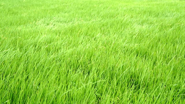 4k video footage of rice green meadow swaying with strong wind waving in green field scene day time - grass family stock videos & royalty-free footage