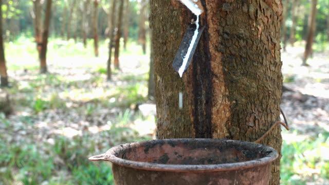 4 k ビデオ  : ラテックスラバーの木から - ラテックス点の映像素材/bロール