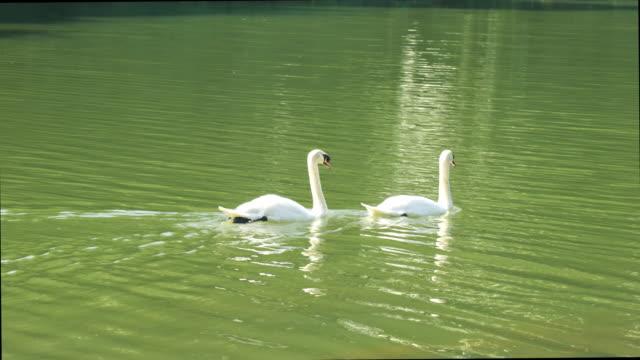 vídeos y material grabado en eventos de stock de vídeo 4k de la alimentación de cisne blanco y moverse en el agua nadando en el lago - historia