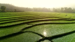 4k Video shot aerial view by drone. Rice Field on sunrise.