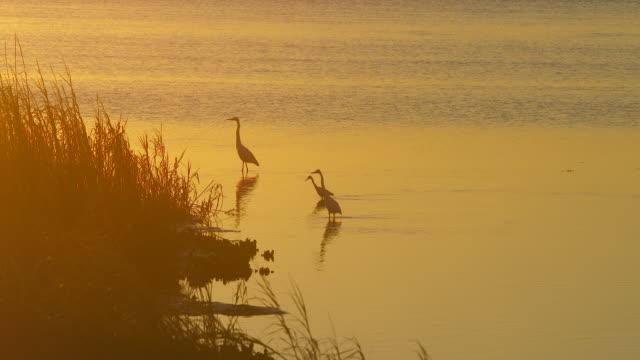 4k white ibis at golden lake - rippled stock videos & royalty-free footage
