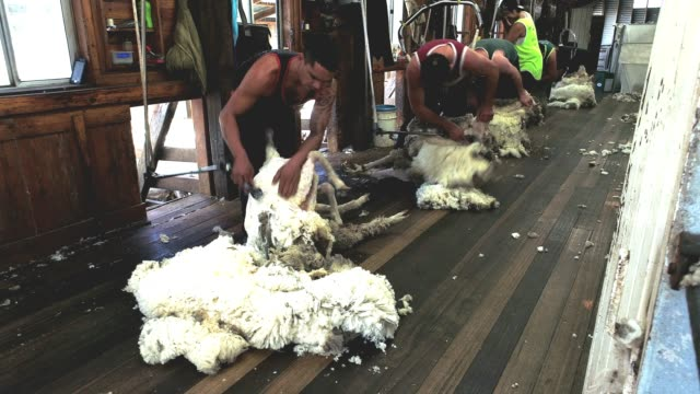 4k within woolshed where sheep are bought in for shearing