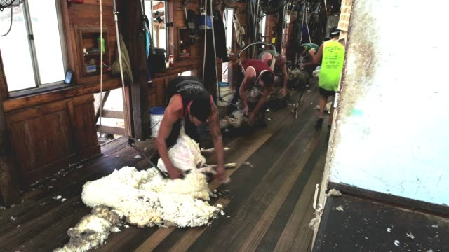 4k within woolshed where sheep are bought in for shearing - merino sheep stock videos & royalty-free footage