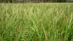 4K,Beautiful green Jasmine rice in rice field, Ear of Young rice sprout ready to growing in Jasmine rice field.