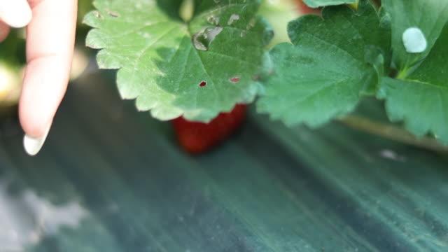vídeos y material grabado en eventos de stock de 4k: retomando la mano recogiendo fresa fresca - fresa