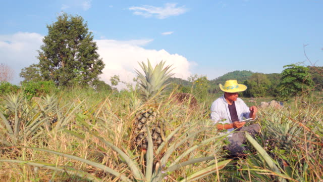 4k:farmer in plantation pineapple - pineapple stock videos & royalty-free footage
