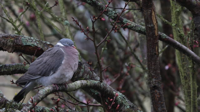4k:pigeon in sitting on branch of tree swaying in a gentle breeze - animal mouth stock videos & royalty-free footage