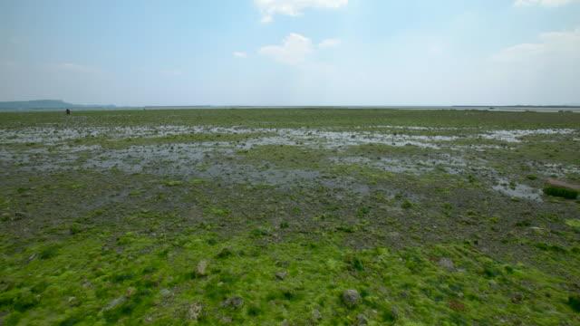 4 k, lattuga di mare, tideland, okinawa, giappone - alga verde video stock e b–roll