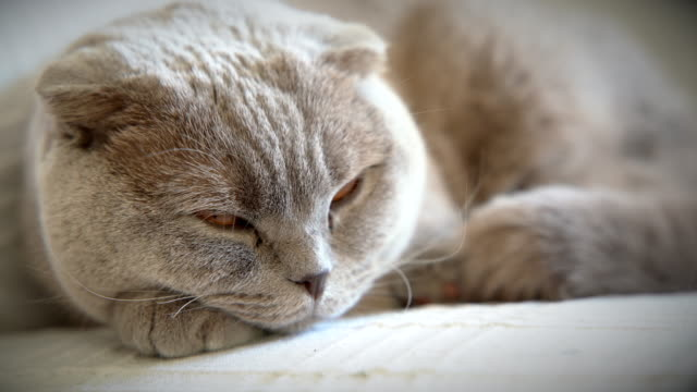 4k:sleepy scottish fold cat - sleeping stock videos & royalty-free footage
