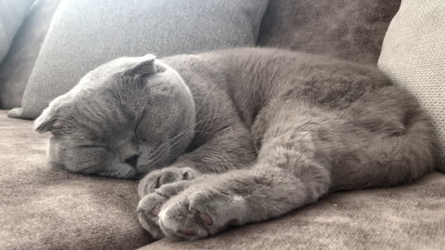 4k:sleepy scottish fold cat - domestic animals stock videos & royalty-free footage