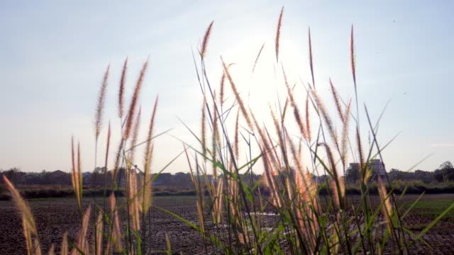 vídeos de stock e filmes b-roll de 4 k :  luz do sol através de flores e campo de arroz - pistilo