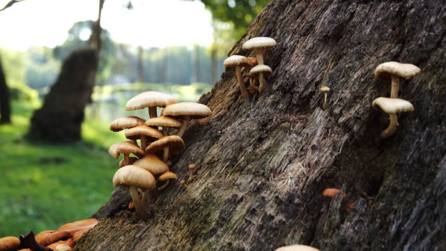 stockvideo's en b-roll-footage met 4k: wild mushrooms in sunny forest, dolly geschoten. - paddenstoel