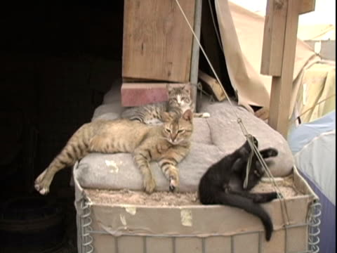 4th may 2005 ws iraqi cats adopted by contractors and soldiers / fob speicher iraq / audio - small group of animals stock videos & royalty-free footage