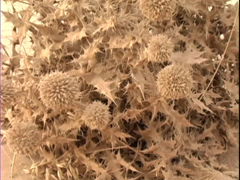 4th may 2005 montage thistle bush in springtime, same thistle after dust storm, living area after dust storm / iraq / audio - thistle stock videos & royalty-free footage