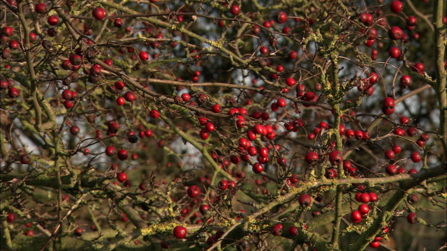 4x4 passes fruiting hawthorn (Crataegus sp.) tree in hedge, Norfolk, UK