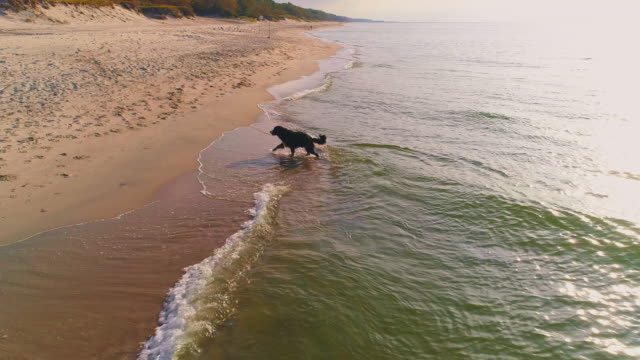 55-years-old mature active, attractive woman playing with her big dog, zennenhund, on a sand beach of the baltic sea in the sunny autumn day. aerial high-angle 4k uhd video footage. - 55 59 years stock videos & royalty-free footage