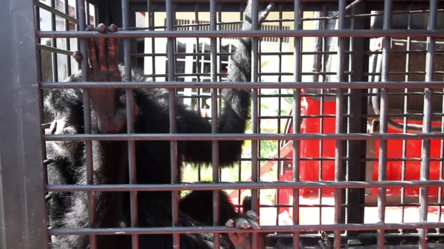 vídeos de stock e filmes b-roll de year-old siamang or black-furred gibbons is seen sitting in a cage after being handed over by residents to local officers from bksda in lhokseumawe,... - jaula