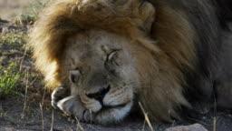 4K 60p clip of a sleepy male lion at serengeti np
