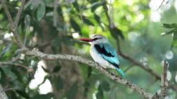 4K 60p close up shot of a woodland kingfisher at masai mara in kenya