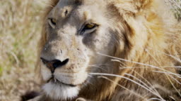 4K 60p extreme close up of the scarred face of a male lion in serengeti