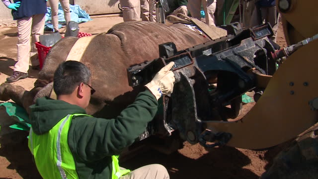 year-old black rhino, layla, underwent a cat scan at brookfield zoo on april 23, 2018--the first ever to be performed on a live rhino. the scan was... - 鼻腔点の映像素材/bロール