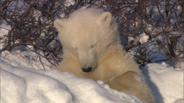 vidéos et rushes de a baby polar bear dozing under a tree bush in the arctic - animal hair