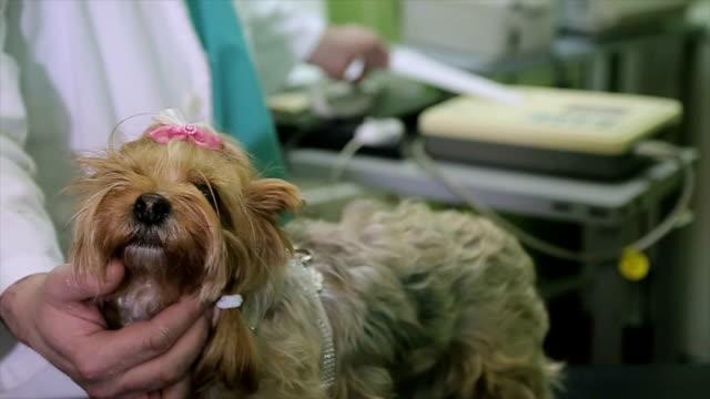 a beautiful Yorkshire Terrier at a cardiac examination at a veterinary clinic close up