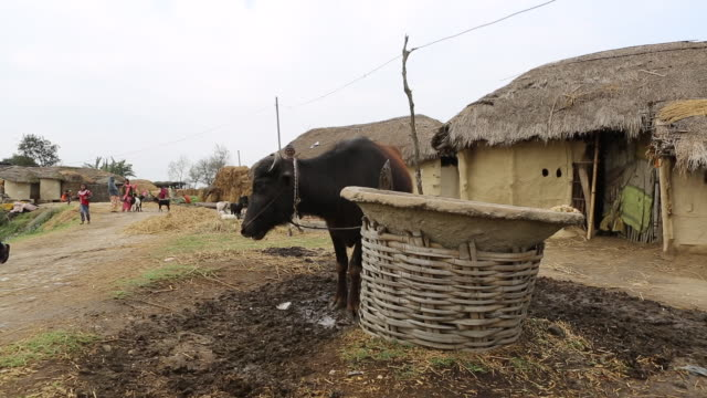 ws pan of a breeding cattle on a muddy dirt road in front of mud huts in a village with several shacks with thatched roofs near birgunj a border town... - tetto di paglia video stock e b–roll