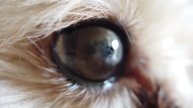 a close up video by mobile on a toy poodle eyes - animal eye stock videos & royalty-free footage