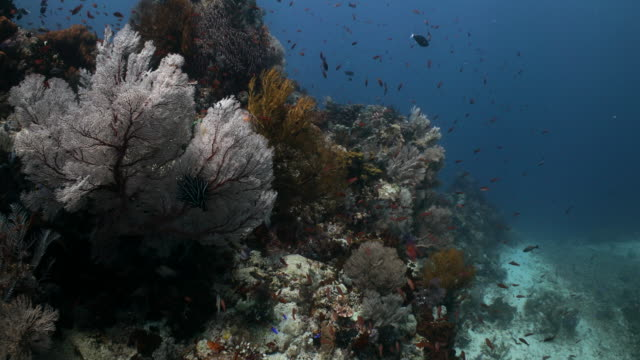 a coral reef ledge covered in sea fans and anthias fish - anthias fish stock videos & royalty-free footage
