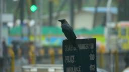 a crow enjoying during rain season.