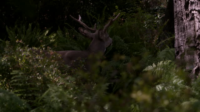 WS of a deer looking around a forest / United States