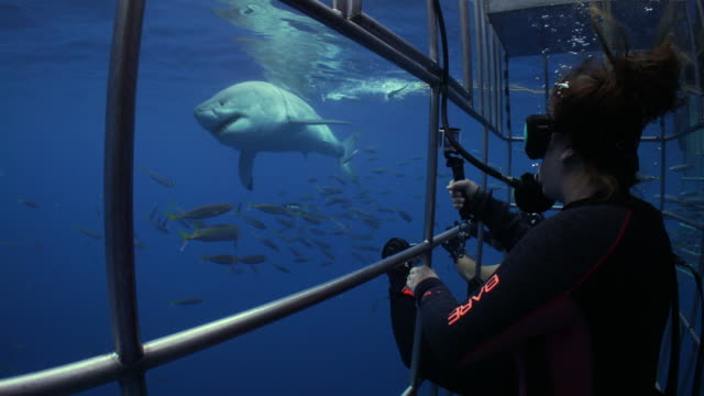 a diver observes a great white shark passing by from a shark cage - shark stock videos & royalty-free footage