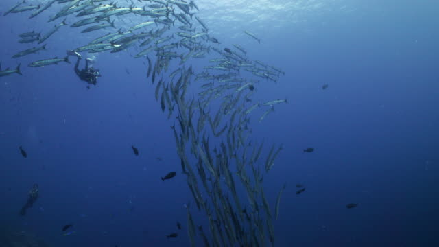 a diver observes a school of barracuda in the open ocean - underwater diving stock videos & royalty-free footage
