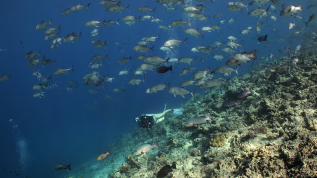 a diver observes a school of jack trevale swimming overhead.mov - tropical climate stock videos & royalty-free footage
