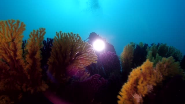 a diver swim into a garden of yellow and red seafan - koralle nesseltier stock-videos und b-roll-filmmaterial