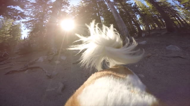 pov of a dog tail shaking on a trail in the mountains. - slow motion - tail stock videos & royalty-free footage