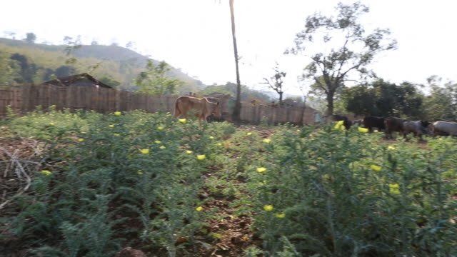 WS of a field with several cows on it in a rural area of the village Satia a small settlement 300 Kilometer from Kolkata India Several villagers that...