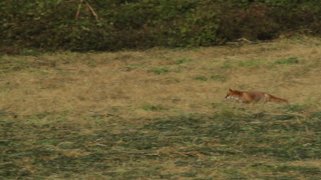 a fox running in a field near toyooka