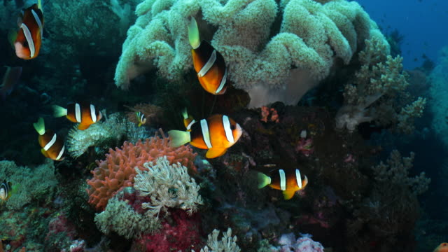 a group of clown fish swim over top of a sea anenome - sea anemone stock videos & royalty-free footage