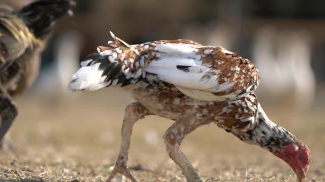 vidéos et rushes de un groupe d'animaux d'élevage sont nourris à la ferme - canard oiseau aquatique