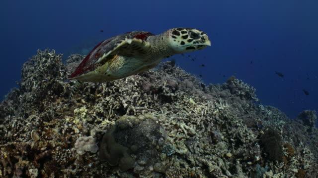 a hawksbill turtle swims along a coral reef - 水棲ガメ点の映像素材/bロール