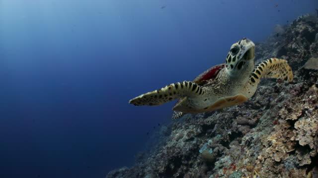 a hawksbill turtle swims overhead - 水棲ガメ点の映像素材/bロール