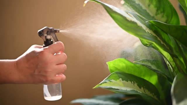 a human hand spray on dumbcane leave in the evening indoor at balcony using a spray bottle watering the plant - plant pot stock videos & royalty-free footage