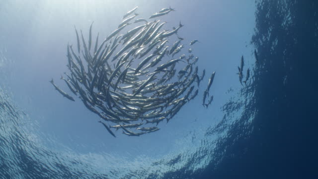a large school of barracuda circles in the open ocean - barracuda stock videos & royalty-free footage