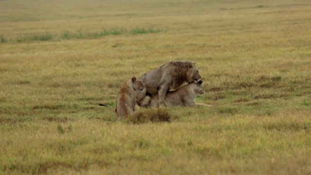 a lion and 2 lionesses in savana grass, short mating