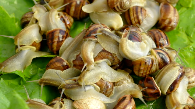 a lot of snails on grape leaves - mollusk stock videos & royalty-free footage