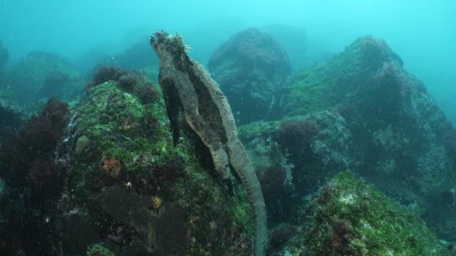 a marine iguana swims towards the surface of the water - ガラパゴス諸島点の映像素材/bロール