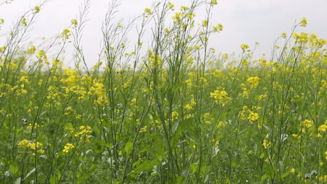 vídeos de stock, filmes e b-roll de cu of a mustard seed field with blooming yellow flowers that are blowing in the wind next to a village near birgunj a border town in parsa district... - savory food